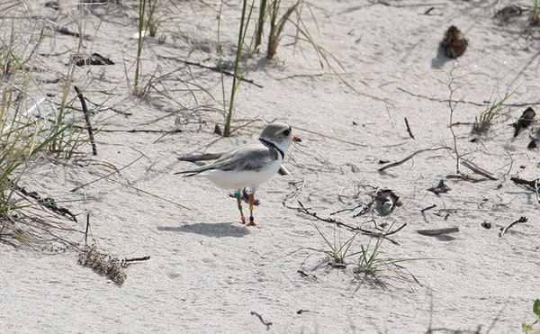 A piping plover was spotted in June 2013 on Pine and Curry Island Scientific Area near Baudette, Minn.