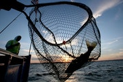 A walleye is netted, caught on the Twin Pines Resort boat at sunset Wednesday, July 29, 2015, during an evening excursion on Lake Mille Lacs.