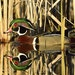 Nesting boxes erected by Wood Duck Society members and those it educates about making them have helped the bird thrive. The daily bag limit for wood d