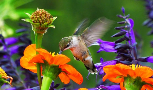 The amazing flowers of this garden have brought in many migrating birds and butterflies, but it's the huge amount of hummingbirds that makes it so s