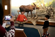 Ann Fu of Woodbury took a picture of her son Mintai, 6, as he hoisted moose antlers in front of a diorama at the Bell Museum Thursday. His brother Min