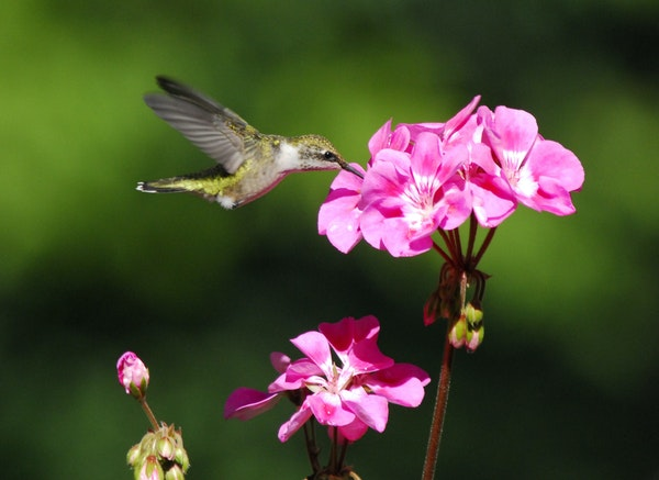 """Ruby-throated hummingbirds, including colorful males, will be heading our way soon. They love to """"sip"""" from flowers and nectar feeders."""