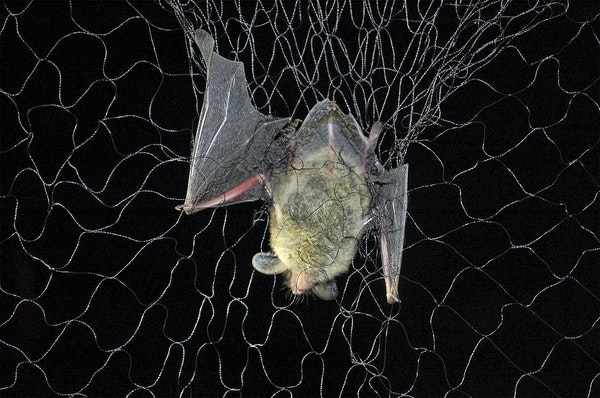 In 2017, Minnesota researchers were netting and tracking bats in the hopes of fending off the effects of white-nose syndrome.