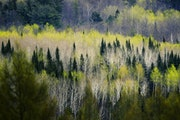 The forest north of Park Rapids, Minn., is a mix of aspen, birch and conifers.