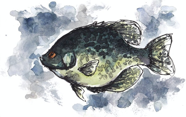 Black crappie: The species is fished hard and has a high natural mortality rate. Another 5-pounder? Not likely.