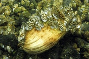 Zebra mussels continue to spread to Minnesota lakes, with Wright County's Cedar Lake the latest.