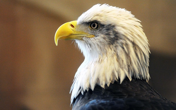 Columbia the bald eagle at the National Eagle Center stares during the Soar With the Eagles event in Wabasha, Minn.