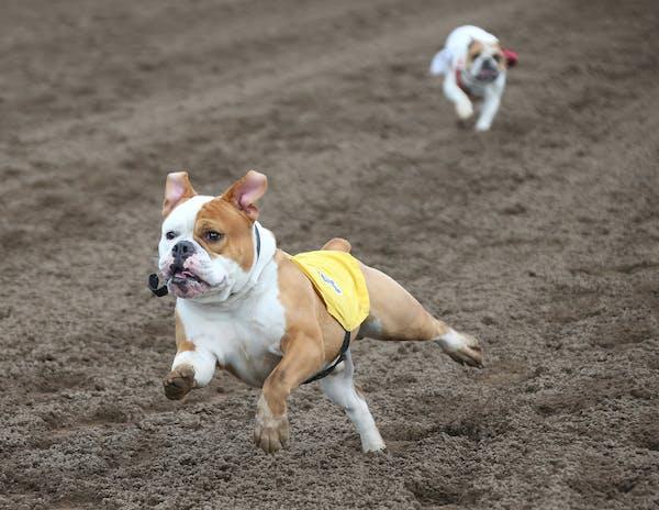 "Chesty the English Bulldog won last month's ""Running of the Bulldogs"" at Canterbury Park."