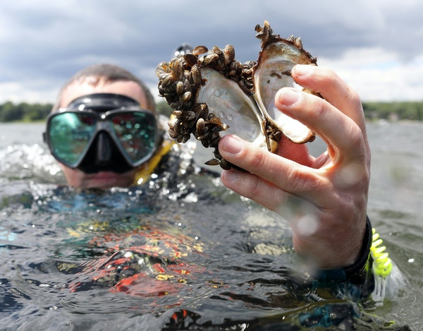 Keegan Lund of the Minnesota Department of Natural Resources held up the shell of a native mussel covered in zebra mussels in White Bear Lake. Minneso
