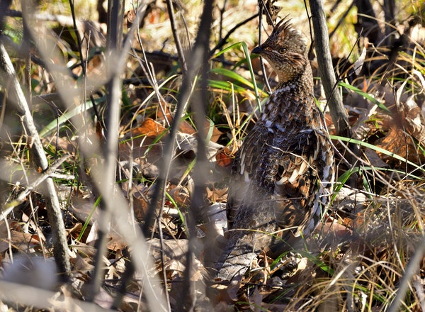 If state surveys are accurate, there will be a lot of grouse to hunt in Minnesota this fall.