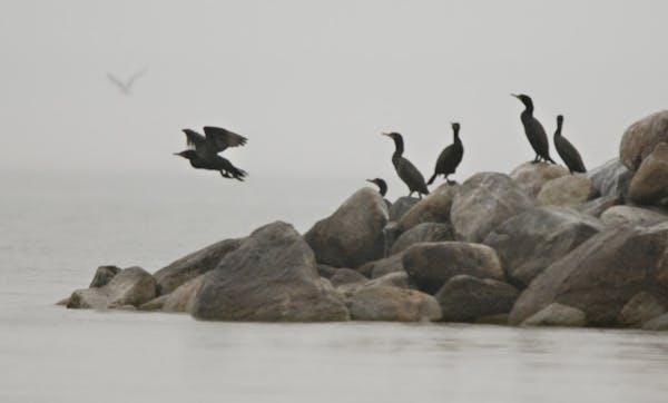 Cormorants on a stony point on one end of Little Pelican Island in Leech Lake.