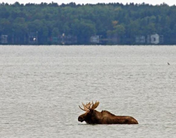 This moose drew a crowd to Lake Bemidji on Saturday before it left the water about 3:30 p.m.