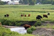 Livestock grazed along the Chanarambie Creek in the city limits of Edgerton.