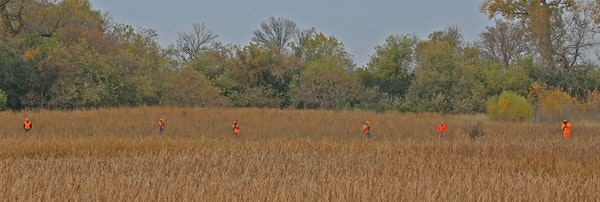 A group of hunters look for pheasants while hiking a state wildlife management area on Saturday near Marshall. Gov. Mark Dayton was a few hundred yard