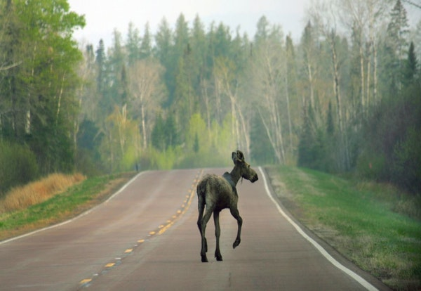 Unlike deer, moose have not developed defenses against parasites, which can damage their brains, nervous systems and livers.