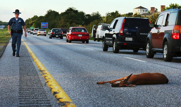 A wounded deer lies in the road after being hit by a car on the northbound lane of Interstate 295 near Freeport, Maine.