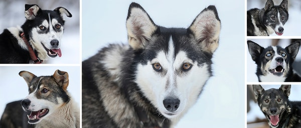 Shy Poke - Colleen Wallin, Silver Creek Sled Dogs, handicaps her gang line and tells us what makes her dogs tick. Advancer for Beargrease Sled Dog Rac