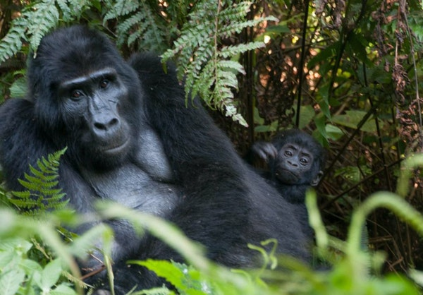 A gorilla trek into the wilds of Uganda's Bwindi National Impenetrable Forest brought visitors face-to-face with the 15-member Rushegura group, incl
