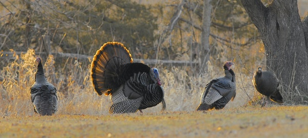 A male wild turkey asserts his dominance to the males on either side of him, while a female (right) watches.