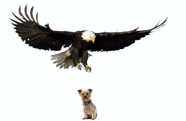 Bald Eagle landing on a perch