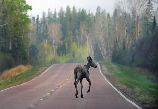 A young moose took advantage of the lack of traffic on the Gunflint Trail at daybreak.