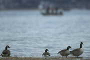 The geese still went swimming when White Bear Lake, at its lowest, was at 919 feet above sea level. It has since recovered to 923 feet.