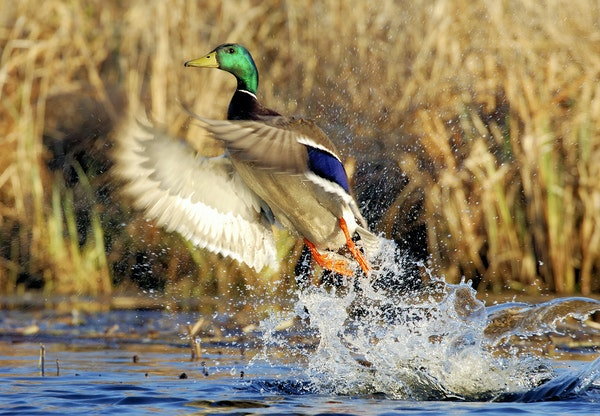 When do mallards pick up and leave Minnesota in the fall? And when they do leave, do they hopscotch their way down the state, or fly long distances to