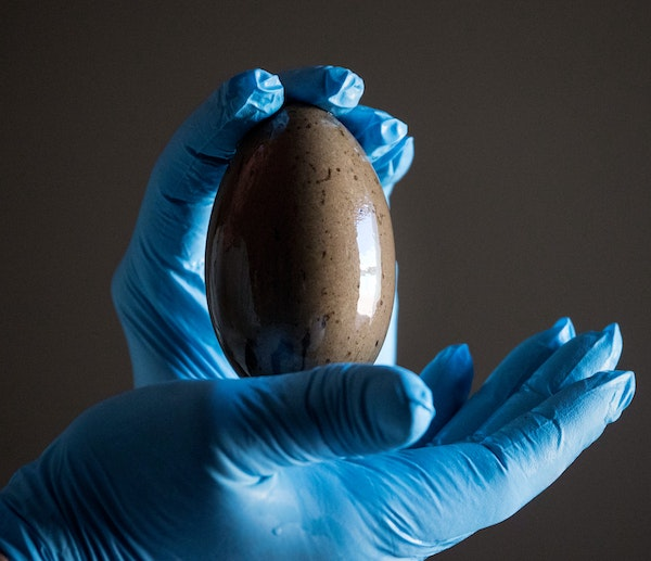 An unhatched loon egg from Eagle Lake in Crow Wing County landed in a study involving Minnesota. The egg was held by Kevin Woizeschke, a wildlife spec