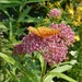 The perennial swamp milkweed is one of the Top 10 native plants for Minnesota gardens.