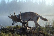 The National Park Service has decided to transport 20 to 30 wolves to Isle Royale over the next three to five years in an unprecedented effort to rest