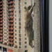 Scores of onlookers rooted on the raccoon as it moved next door to the UBS Tower and scaled the concrete skyscraper, making it up as high as the 20th