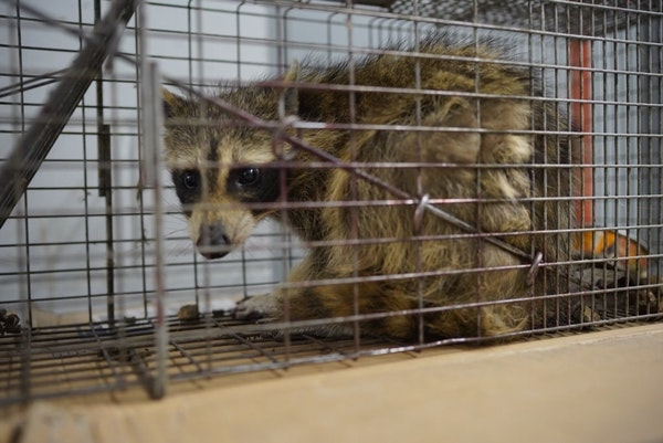 The raccoon that scaled the UBS Plaza was caught in a live trap baited with cat food overnight in St. Paul, Minn., and was picked up by Wildlife Manag