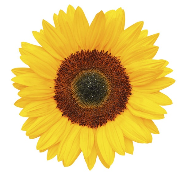 A sunflower for every situation