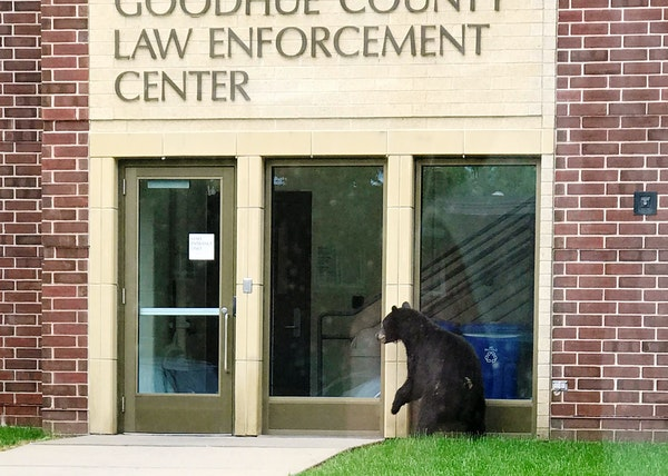 A black bear wandered by the Goodhue County Law Enforcement Center in Red Wing, Minn., on June 9.