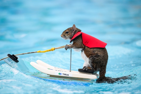 Twiggy, the water-skiing squirrel, performed Thursday, July 19, 2018 outside US Bank Stadium as part of X Fest. The squirrel, the 7th in a line of Twi