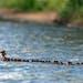 In a photo provided by Brent Cizek, dozens of common merganser ducklings follow a single hen on Lake Bemidji in Bemidji, Minn. Some birds, including c