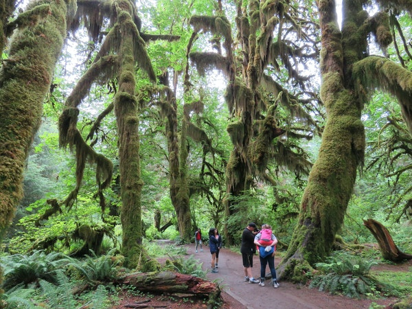 Olympic National Park has nurtured the nation's most colossal specimens of Sitka spruce, Western red cedar, Pacific silver fir and Western hemlocks.