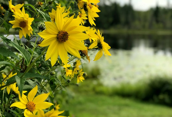 Small-headed sunflowers flourish beside Twin Lakes in the Rice Lake National Wildlife Refuge in McGregor, Minn.