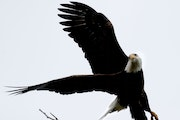 A bald eagle takes flight from a tree near Lake Bde Maka Ska. The bald eagle is protected by federal laws that date to 1900.