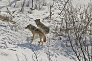 This 2017 photo provided by biologist Rolf Peterson of Michigan Technological University shows the last two surviving wolves at Isle Royale National P