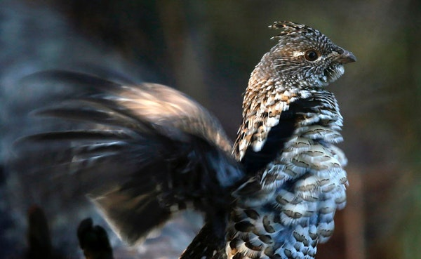 Ruffed grouse numbers are up, according to one preliminary report.