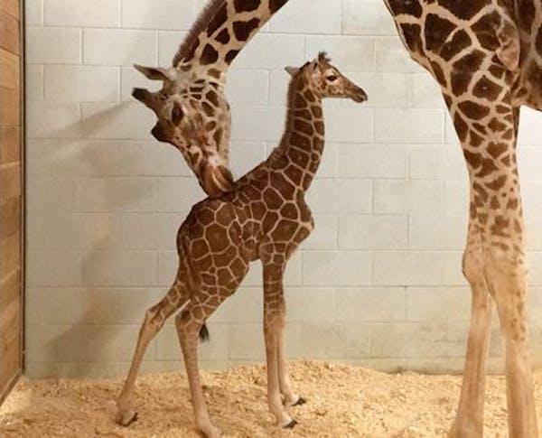 Daisy gave birth Tuesday at the Como Zoo.