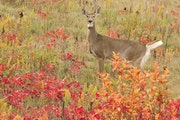 A white-tailed deer doe crosses a meadow in the fall