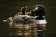 Minnesota's beloved loon population — the largest in the U.S. — is stable at about 12,000 breeding adults. But wildlife officials say vital nest