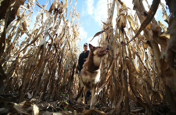 Steven Fowler of Luck, Wis., and his dog Cheeka searched a cornfield near Hwy. 25 just north of Barron, Wis., for missing 13-year-old Jayme Closs on T