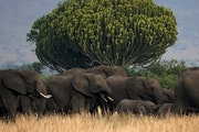 A herd of elephants made its way past a euphorbia tree in Uganda's Queen Elizabeth National Park, which has great wildlife diversity.