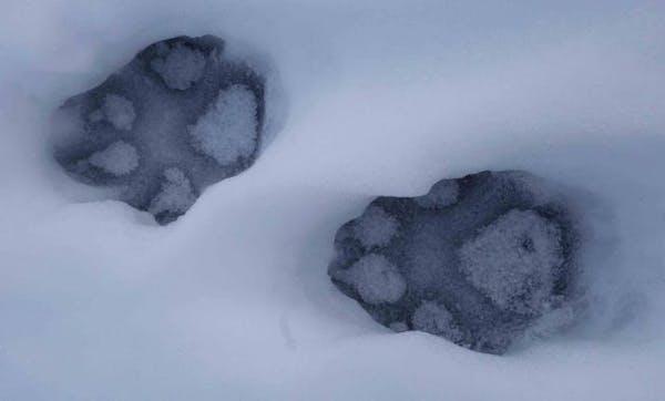 Wolf-moose survey brought to halt by shutdown