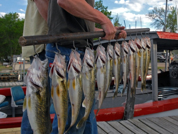 After years of catch-and-release angling, management of Mille Lacs walleye has the lake ready for a season that can support 150,000 pounds of harveste