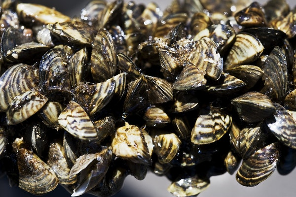 Zebra mussels are a concern because they can compete with native species for food and habitat, cut the feet of swimmers, reduce the performance of boa