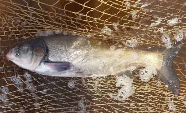 This silver carp was caught in the St. Croix River, the Minnesota DNR announced Monday.